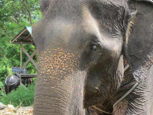 One of the Asian Elephants used to haul tourists around in Koh Samui.