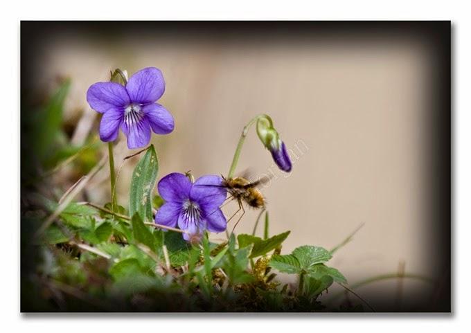 Spring 3 E Dog-violet