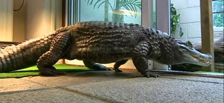 Britânico habita com crocodilo de 1,6 metros em residência