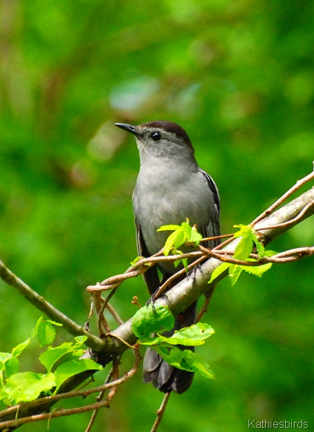 1. Catbird in yard-kab