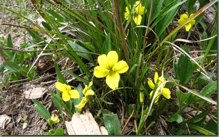 YellowViolet