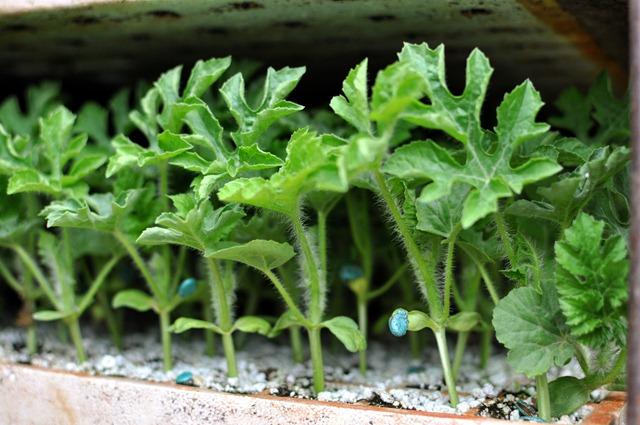 [planting-watermelons-032212-963.jpg]