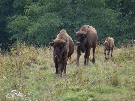 Fauna in Romania: zimbri in Neamt