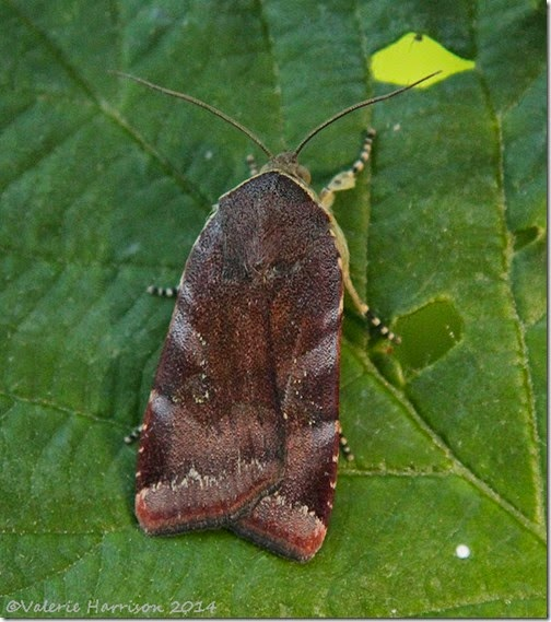 Lesser-Broad-bordered-yellow-underwing-1