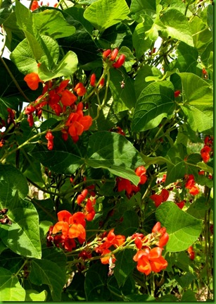 Scarlet Runner Bean 1
