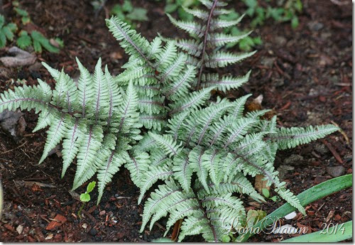 Fern Ursulas Red