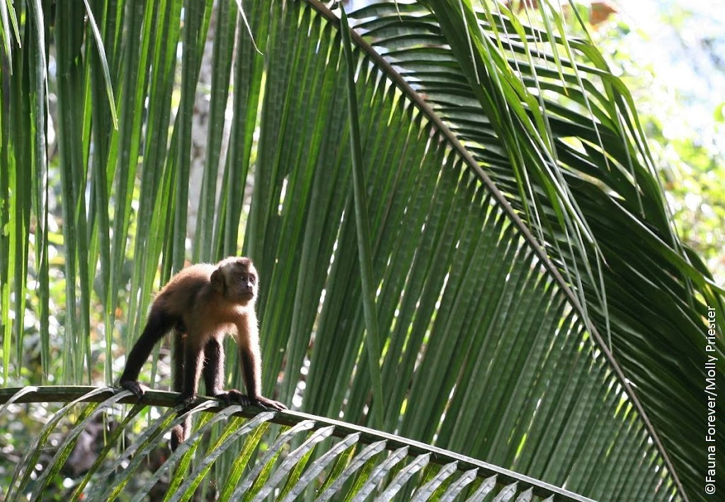 brown capuchin by Molly Priester