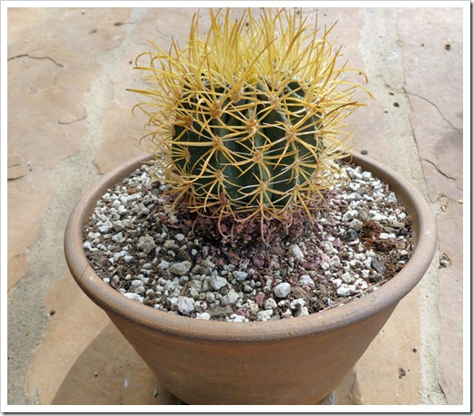 120331_Ferocactus-chrysacanthus_05