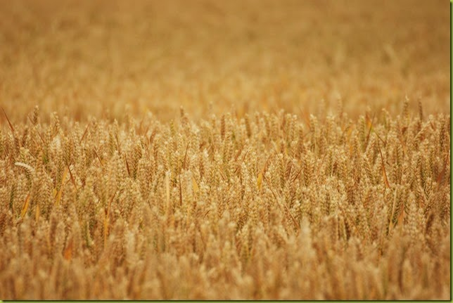 ripening wheat crop