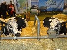2015.02.26-057 vache vosgienne