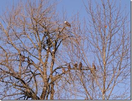 Eagles in eagle tree