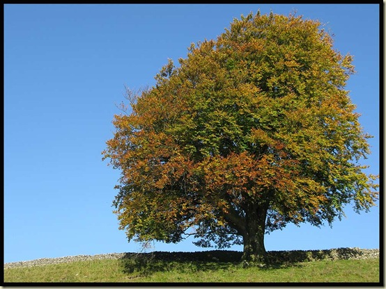 A Wharfedale tree