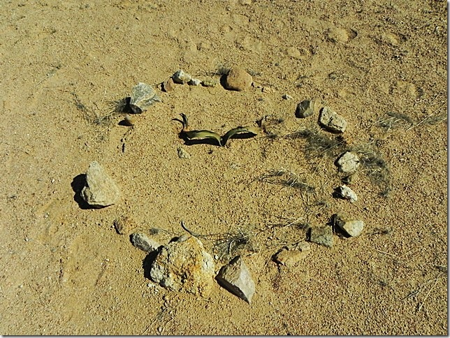 Welwitschia_DSCN6468