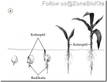 Pertumbuhan Primer Tumbuhan
