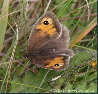 29-meadow-Brown