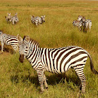 Zebras in der Serengeti © Foto: Ulrike Pârvu | Outback Africa Erlebnisreisen