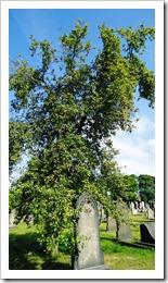 Tree full of apples in the graveyard