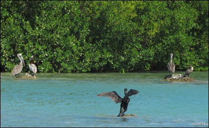 4 pelicans one cormorant