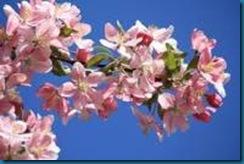scent - crabapple