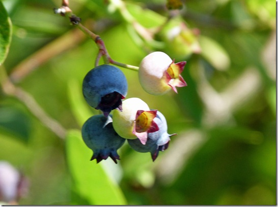 Blueberry Picking 2