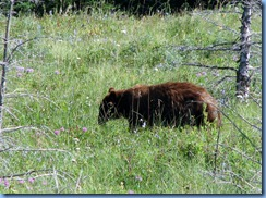 1324 Alberta Red Rock Parkway - Waterton Lakes National Park - a grizzly bear