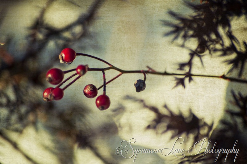 January 2013-Wild Rose Hips-web-SycamoreLane photography