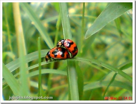 ladybird mating 01