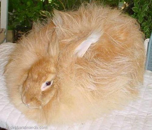coelho angora peludo desbaratinando (8)