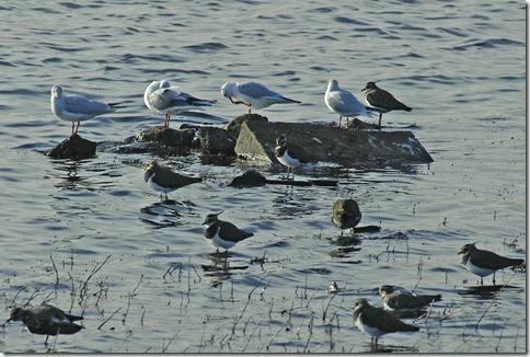 gulls peewits 2