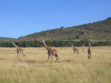 Safari in Kenya: girafe in Masai Mara