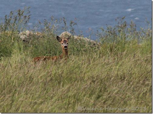 11-roe-deer