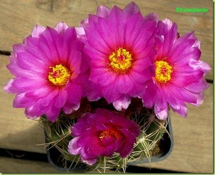 Parodia werneri fioritura