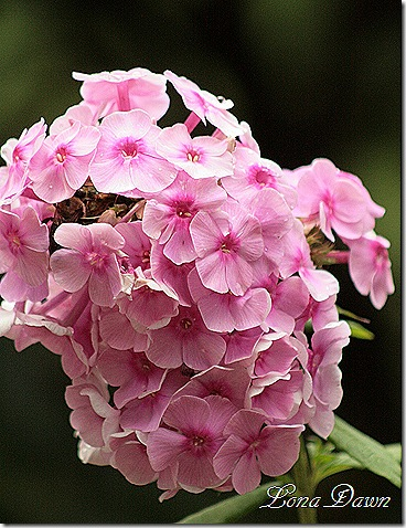 Phlox_BrightEyes_Aug