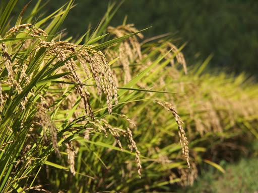 [写真]揚枝方周辺の田んぼでは稲穂が頭を垂れている