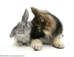 pastor alemão e coelho
