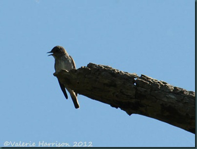 14-Spotted-Flycatcher