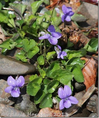 15-violets