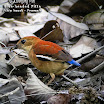 Blue-headed Pitta-02.jpg
