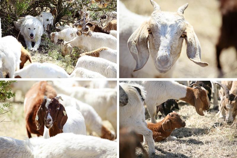 goat quad2