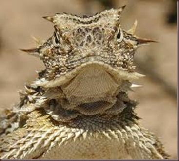 Amazing Pictures of Animals, photo, Nature, exotic, funny, incredibel Zoo, Horned lizard, Phrynosoma, Reptilia, Alex (1)