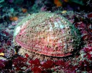 Amazing Pictures of Animals, photo, Nature, exotic, funny, incredibel, Zoo, Abalone, Mollusca, alex (8)