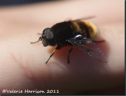 hoverfly Eristalis intricarius