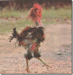rough day rooster