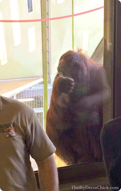 orangutans indy zoo