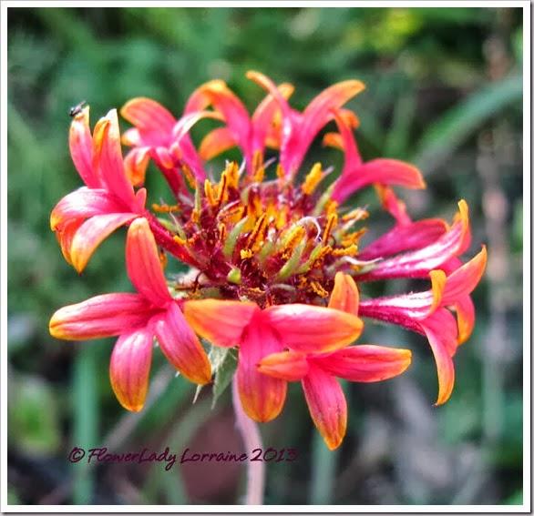 10-20-blanket-flower
