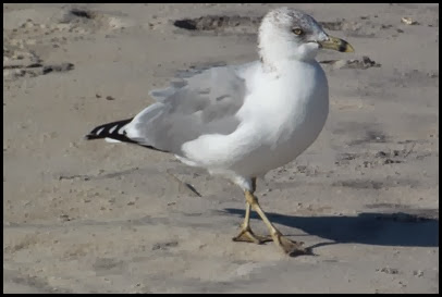 Assateague PM Beach 015