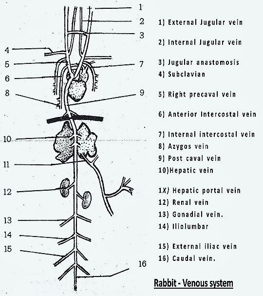 venous-system-rabbit-mammal