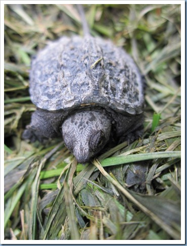 20110905_baby-turtle_003