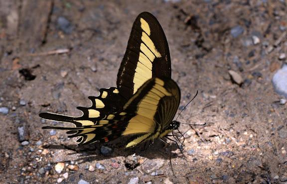 Papilio (Heraclides) lamarchei STAUDINGER, 1892. Rio Coroico, à proximité de Coroico. Bolivie, 19 janvier 2012. Photo : Lars Andersen