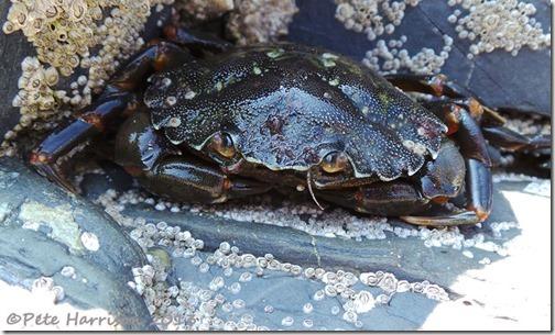 27-shore-crab